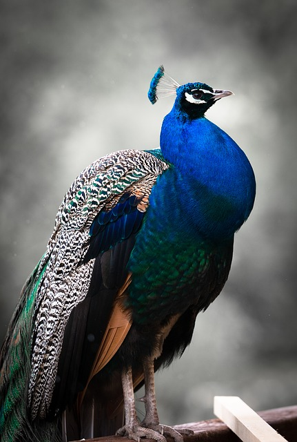 Its Proud As a Peacock Brother Cusack